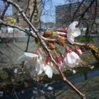雨に忖度の桜