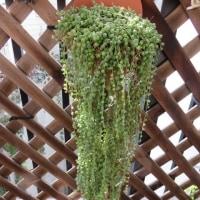 グリーンネックレス挿し木