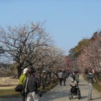 梅の花見ながら歩く偕楽園