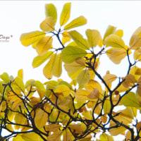 木の葉の色づき♪~イエローリーフ