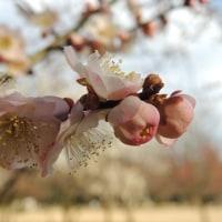 馬場公園の梅の花