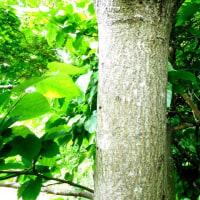 樹木ウォッチング冬から夏へ207ヌルデ2
