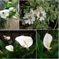 白い花いろいろ 白の表情