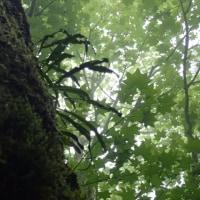 イタヤカエデの幹についていたミヤマノキシノブ