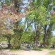 ポプラの木の下で^^