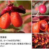 真っ赤なニシキギの果実の中には、小豆が?!