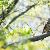 一期一会・・・鳥撮りの記  201 チョウゲンボウ