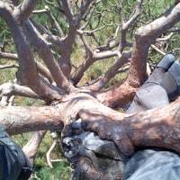 アカマツ直幹の剪定