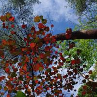 ベニマンサク紅葉すすむ、10月末前後が見ごろか 2016.10.20