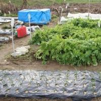 家庭菜園 収獲