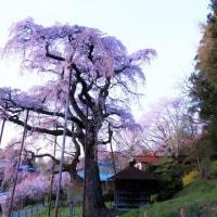 夕暮れの紅枝垂れ地蔵桜