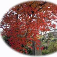 小簾紅園(おずこうえん)の紅葉・・・ぶりの照り焼き。
