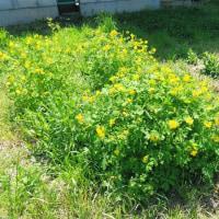 クサノオウ、ノゲシ、ヤマブキ、黄色い花によくであった日は筍料理を作りました