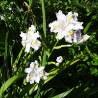 久し振りに家の庭の花を写真に