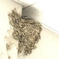 ツバメの巣 A swallow's nest