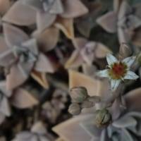 可憐な華花