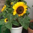 夏の花、ひまわりとハイビスカス
