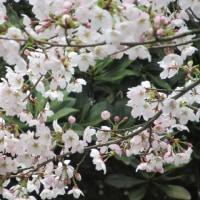 今年のゴンタ桜は…