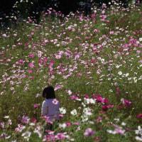 カメラ片手に 昭和記念公園 コスモスまつり