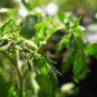 ミニトマトの定植