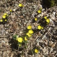 3月4日の岩宇土山中腹の福寿草