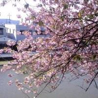 御衣黄桜(ギョイコウザクラ)