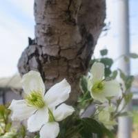 oneboke  今日の庭  グレコマ と モンタナルーベンス