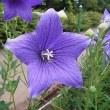 季節の花「桔梗 (ききょう)」