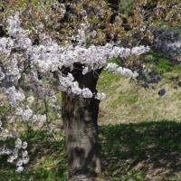 満開の桜を追いかけて