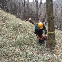 しいたけ原木伐採実習(3回目)・・・