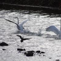 あぶくま親水公園の白鳥(2017.2.12)