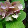 栄養失調の紫陽花さん