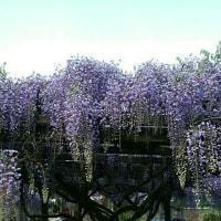 庭の藤棚です🎵