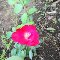 剪定した枝が根付いて咲いた薔薇・棘の処理
