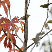 秋色の中のメジロ・シジュウカラ・ジョウビタキ