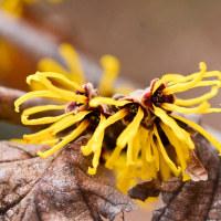 春に向けて他の花に先駆けて咲く、マンサク(満作)が開花し始めていました
