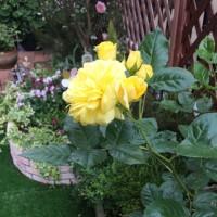黄色いバラ  四つ葉のクローバー