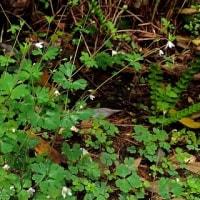 奄美大島に持ち込まれた植物:ヒメウズ