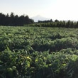 露地トマト畑からの筑波山