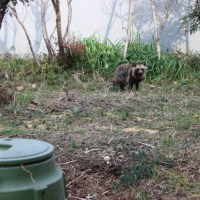 a raccoon dog again