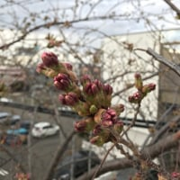 桜がやっと札幌にも