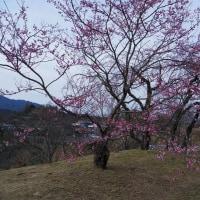 ちゅーピーパークの桜、咲いた 2017.3.25