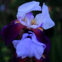 月明かりのなかの花たち ジャーマンアイリスとアヤメ