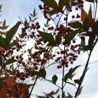 南天の実が生き生きなか最後の庭木の冬囲い終了した