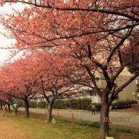 佐倉の河津桜はいま