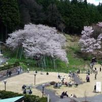 臥龍桜を見に行く