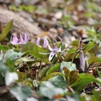 山岳点景:Spring ephemeral 春の妖精―堅香子カタクリ