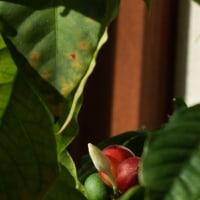 コーヒーの実と白い花蕾