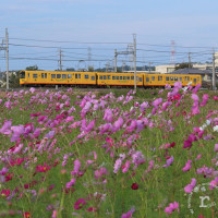三岐鉄道北勢線を彩るコスモス畑とハッピーナロウィーン