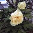 我が家の黄色い花